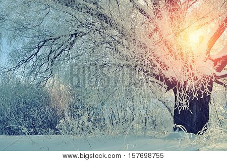Winter landscape with frosty winter tree in the sunrise. Winter wonderland picturesque scene in early winter morning with winter soft sunshine- view of winter forest in the sunrise. Winter landscape