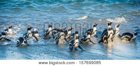 African penguins walk out of the ocean in the foam of the surf. African penguin ( Spheniscus demersus ) also known as the jackass penguin and black-footed penguin. Boulders colony. South Africa