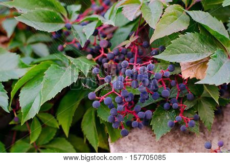 Parthenocissus quinquefolia known as Virginia creeper Victoria creeper five-leaved ivy or five-finger creeper with blue ripe berries