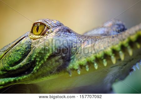 Gavial with open mouth and teeth from closeup view