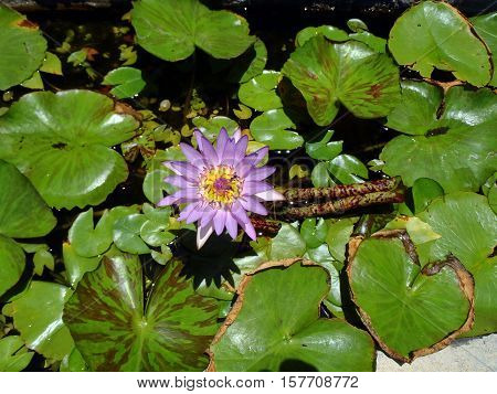 Nymphaea nouchali - Star lotus Red and blue water lily Blue star water lily