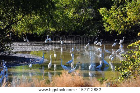 Large group of white herons wade in a shallow creek in the Delta area of Arkansas. Trees surround area.