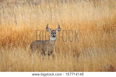 Mule deer buck standing in farm field looking at camera.
