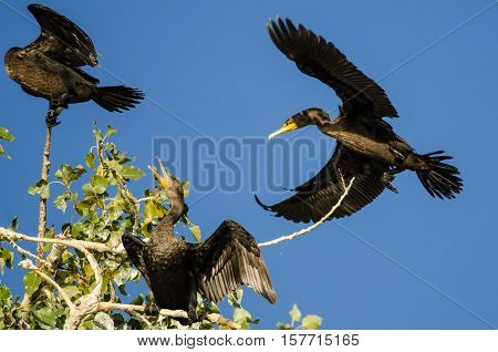 Double-Crested Cormorant Landing High in a Tree