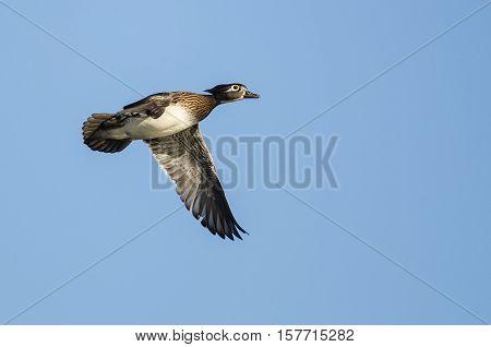 Female Wood Duck Flying in a Blue Sky