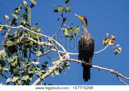 Double-Crested Cormorant Perched High in Tall Tree