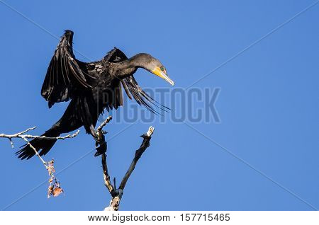 Double-Crested Cormorant Stretching Its Wings While Perched in Tall Tree