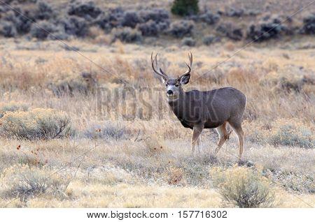 Large mule deer buck in the wilderness.