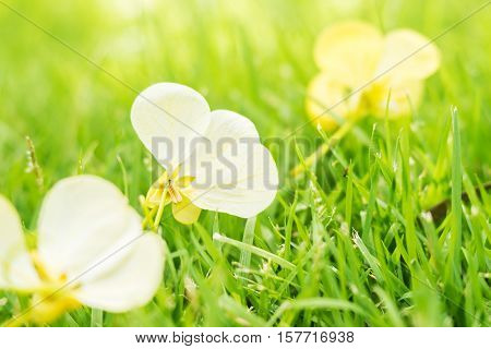 Vintage landscape nature flower background, Closeup white flower fall from the tree on green grass, Spring flower, Spring background