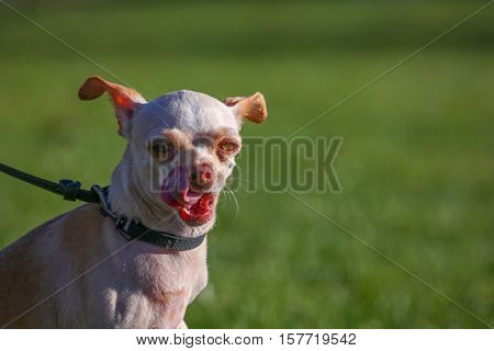 a cute chihuahua licking her mouth during summer on a sunny day in a local park
