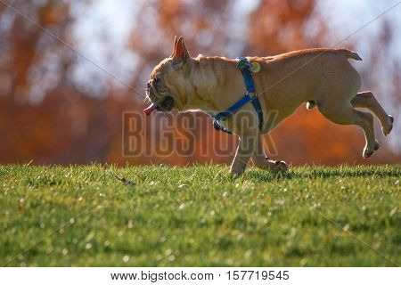 a happy excited french bulldog running up a hill in a park enjoying the outdoors on a beautiful summer day