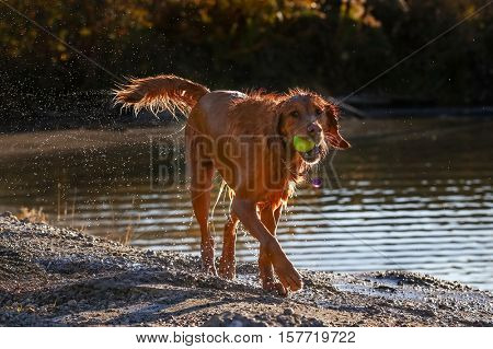 a dog enjoying the outdoors fetching a tennis ball on a beautiful summer day during sunset at a local park with a pond