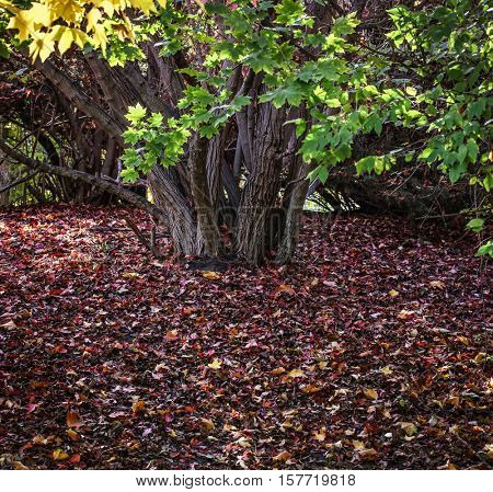 a large green tree full of leaves above a blanket of red fallen leaves on an autumn day in a local public park