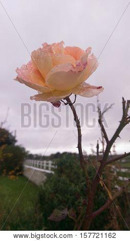 A beautiful de masque rose in November.