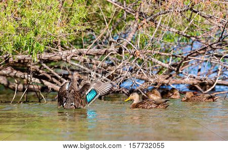 The Mexican duck is a dabbling duck in the genus Anas which breeds in Mexico and the southern United States. Most of the population is resident, some northern birds migrate south to Mexico in winter.