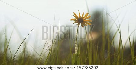 Sunflower stands heads up alone in bushes