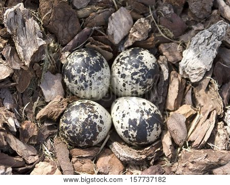 A traditional Killdeer nest consists of four grey and speckled eggs