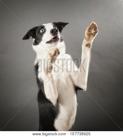 Border Collie with his front paws in the air.