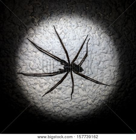 huge black and brown a spider, spider with eight legs fleecy hair, sitting on the wall in light circle around the black background,white wall, insect crawls out of shadows, black and white