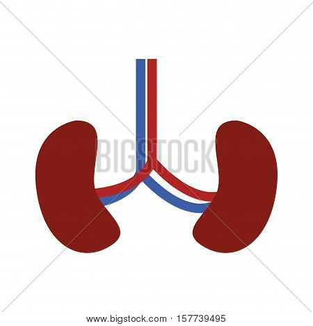 System renal with kidneys and veins vector illustration