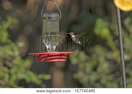Black Chinned Hummingbird in Flight in the Santa Ana National Wildlife refuge in Texas