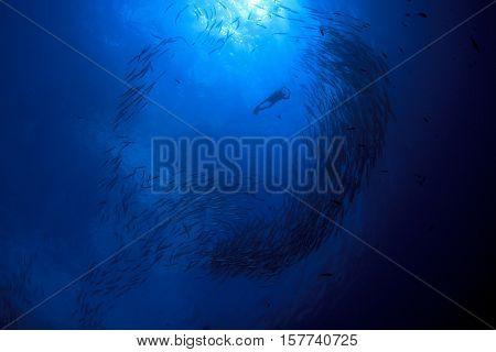 School barracuda fish and scuba divers