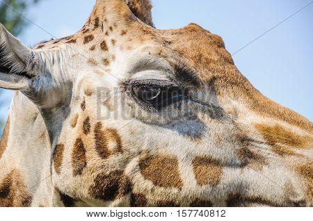 Eye of the Rothschild's giraffe (Giraffa camelopardis rothschildi) closeup