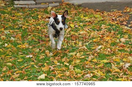 Jack Russell Terrier Puppy In harness running and jumping in autumn leaves action photo with floppy ears in air paws off the ground motion with copy space
