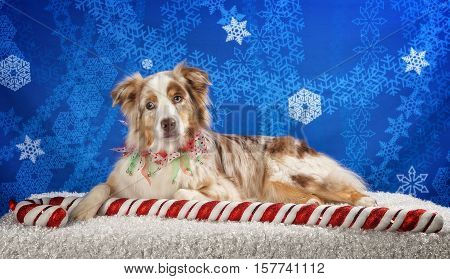 An Aussie laying down with a giant candy cane.