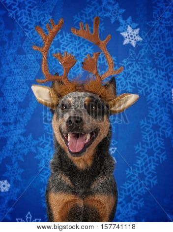 An Australian Cattle Dog wearing Christmas Antlers.