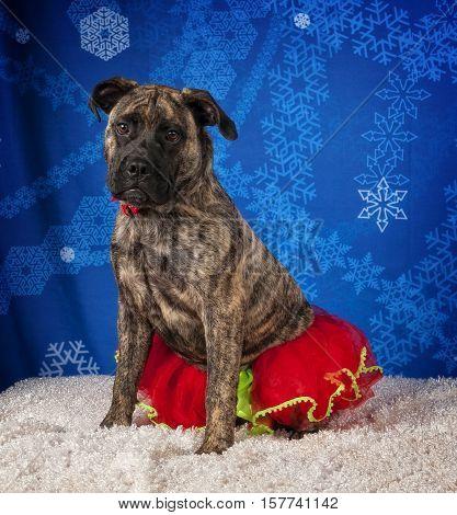 A Bull-mastiff puppy wearing a Christmas Tutu.
