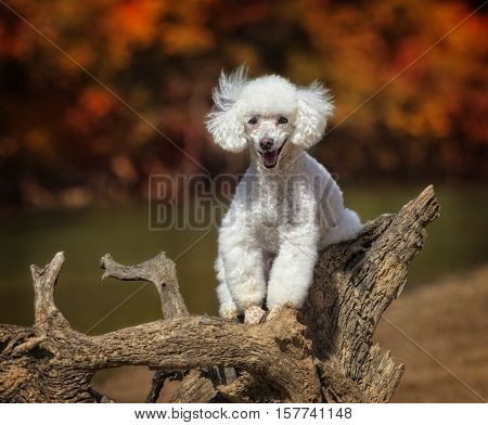 A miniature Poodle sitting on top of a tree trunk on the beach.