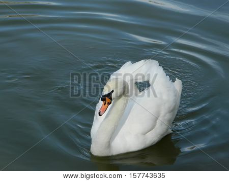 Mute swan on a lake as a symbol of marital fidelity