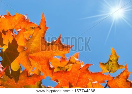 Golden and orange autumn foliage leaves on a maple tree against blue sunny sky. Copy space.