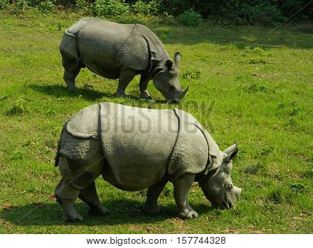 Rhinoceroses eating grass in Chitwan National Park, Nepal