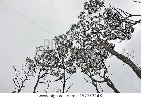 Eerie pattern of the canopy of tall gumtrees (Eucalyptus) contrasted against a light grey cloudy sky