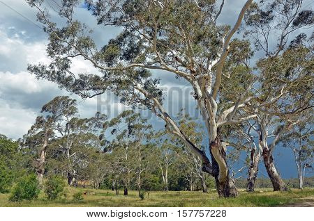Stand of white bark gumtrees, Eucalyptus, along Shoalhaven River, New South Wales, Australia with thunderstorm brewing in the sky