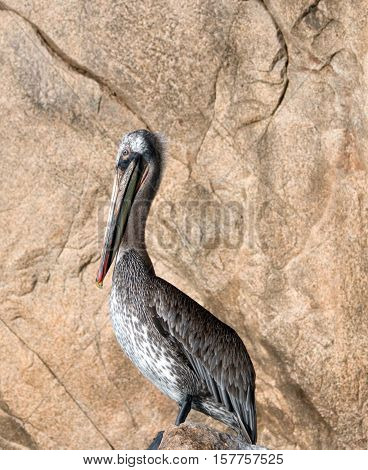 Sunlit Pelican perching on Los Arcos rocks at Lands End in Cabo San Lucas Mexico