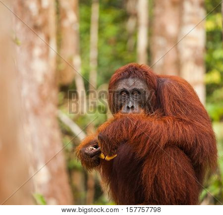 orangutans are the two exclusively Asian species of extant great apes. Native to Indonesia and Malaysia orangutans are currently found in only the rainforests of Borneo and Sumatra.
