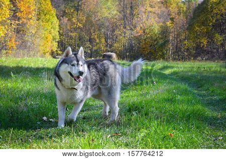 Siberian husky, wood, autumn, sunny day, dog