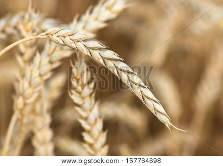organic golden ripe ears of wheat in field, soft focus, closeup, agriculture background
