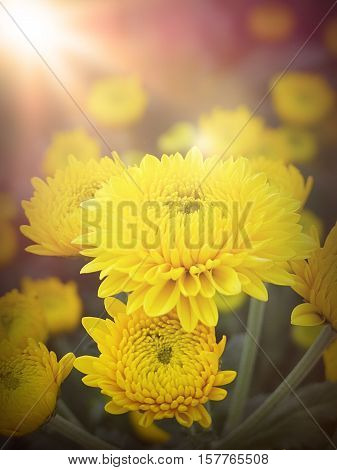 Vintage, retro , love or valentine background concept : Yellow Chrysanthemum Flowers close up, beautiful yellow flowers in the garden
