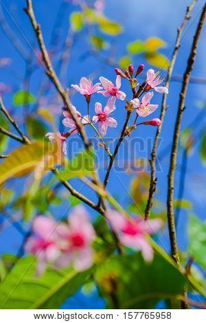 Sakura flowers blooming blossom in PhuLomLo Loei Province , Thailand