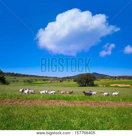 Via de la Plata way dehesa goats grasslands in Extremadura of Spain