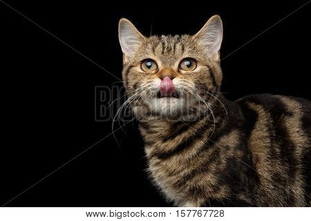 Close-up Portrait of Tabby Scottish Kitten, funny Looking up and Licked on Isolated black background