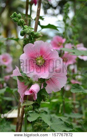 Gradation pink and fresh hollyhock in the garden