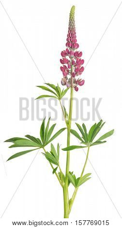 red lupine flower isolated on white background