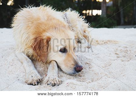A dog lying on sand at the beach, with sad eyes and wet fur. poor solitude dog on the beach. poor dog waiting for its owner on the beach