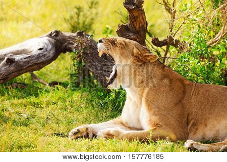 Side view portrait of yawning lioness laying on a grass at safari park, Kenya, Africa poster