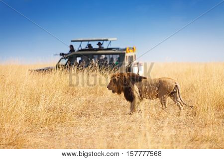 Side view portrait of beautiful big lion hunting at safari park, Africa